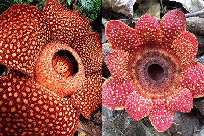 Harvard researchers have solved the nearly 200-year-old mystery of how Rafflesia, the largest flowering plants in the world, develop. The Rafflesia (left) and Sapria closely resemble one another yet are actually built in fundamentally different ways, noted Harvard Professor Charles Davis. While the study sheds new light on how these plants develop, Davis said it may also help to explain how Rafflesia in particular attained such huge flowers.