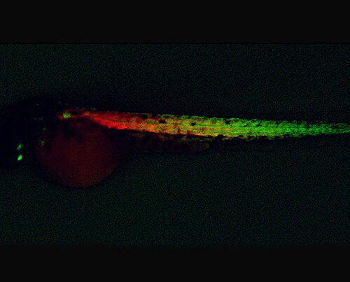 Newly created muscle progenitor cells (green) and muscle fibers (red) in a zebrafish embryo.