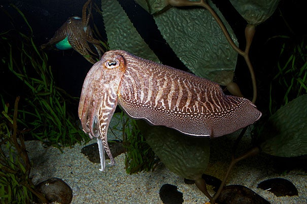 "The cuttlefish, known as the ""chameleon of the sea,"" can rapidly alter both the color and pattern of its skin. Researchers at Harvard and MBL now understand the biology and physics behind this process."