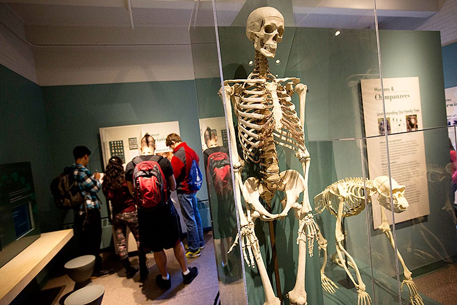 Students visit the Harvard Museum of Natural History while human and chimpanzee skeletons eerily look on.