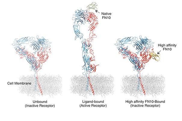 The two peptide chains of an integrin receptor (left), colored red and blue, extend through the cell membrane into the extracellular space. When bound to the common form of a ligand-mimicking molecule, the integrin becomes activated (center), changing its shape and causing the cell to become sticky. Binding the high-affinity form of the molecule, FN10 (right), does not cause the integrin to shape-shift, blocking its activation.