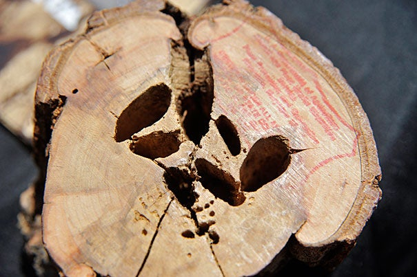 "After the 2010 discovery of trees ravaged by the Asian longhorned beetle (photo 1), the insect ""had the potential to devastate our trees,"" said Stephen Schneider (photo 2), director of operations at the Arnold Arboretum. On Monday, Arboretum Director William ""Ned"" Friedman (photo 3) and officials announced the eradication of the beetle."