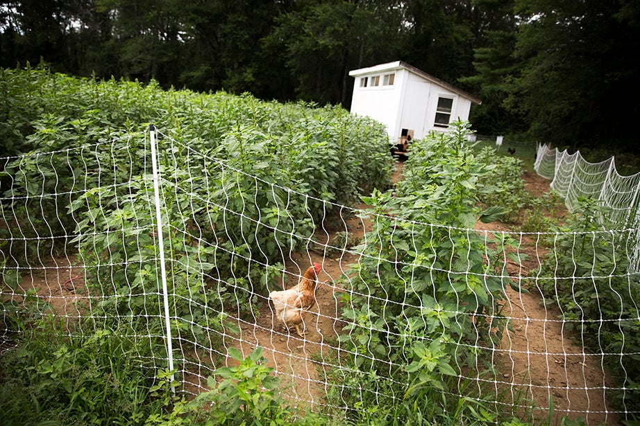 Chickens graze between the rows of produce at Plato's Harvest.