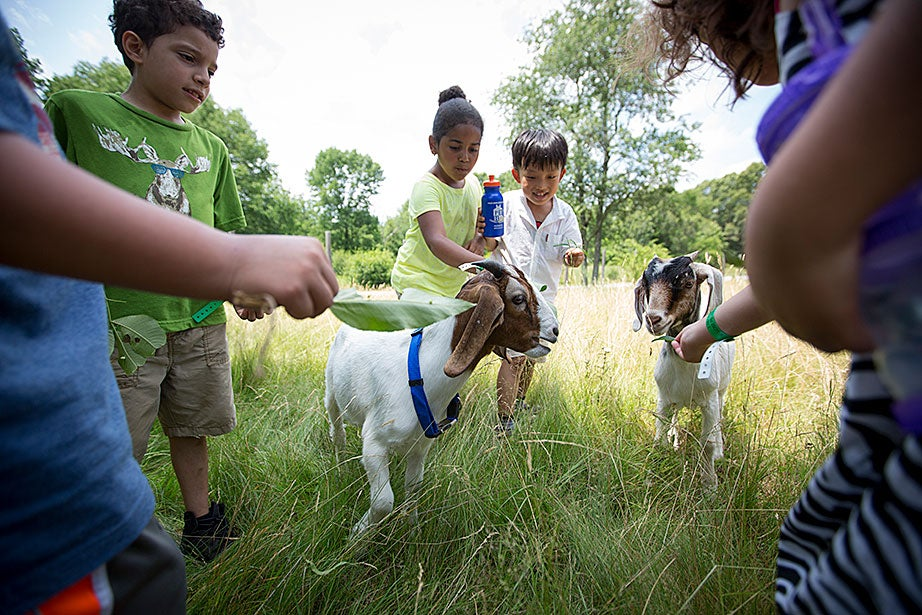 The campers fed leaves to goats.