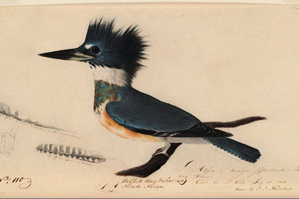 """""""The attention to detail is phenomenal,"""" said library conservation specialist Debora Mayer, who performed the preservation work on John James Audubon's drawings, such as this rendering of an avocet. Audubon chronicled his work (photo 2) and used various utensils to capture the authentic coloring of his bird subjects (photo 3)."""