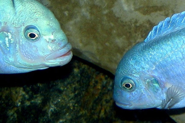 The Maylandia callainos is a species of cichlid from Lake Malawi, which they colonized 5 million years ago. Researchers wanted to examine the cichlid genome as a model system and determine what allowed these fish to diversify broadly in a relatively short time.