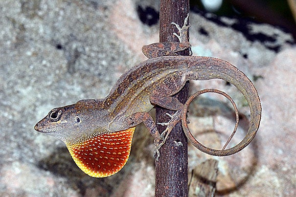 Anolis sagrei, the brown anole, is native to Cuba, the Bahamas, and other islands in the northern Caribbean and has been widely introduced throughout the Caribbean and the world.