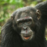Data collected from 18 chimpanzee research sites show that chimps engage in violent and sometimes lethal behavior regardless of human effects on local ecology.