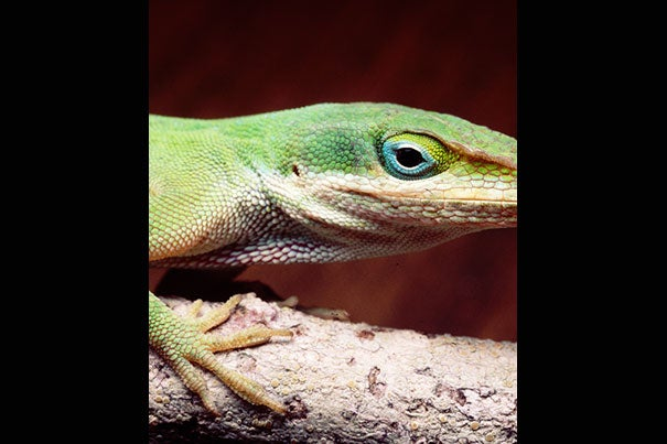 A close-up of a male green anole lizard (photo 1). Note the lizard's toe pads. Over just 20 generations in 15 years the green anoles evolved larger toe pads equipped with more sticky scales to allow for better climbing (photo 2). The change came after the invasive brown anoles (photo 3) forced them from their ground-level habitat into the trees in order to survive.