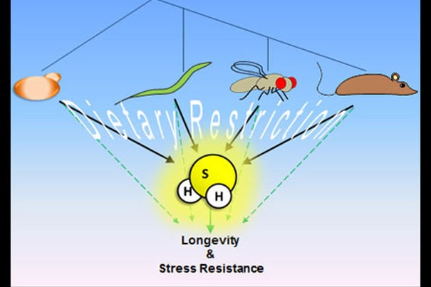A study shows that the key benefit to dietary restriction is increased production of endogenous hydrogen sulfide, which plays a major role in delivering the benefits of longevity and stress resistance.