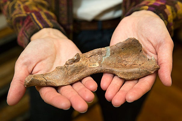 The fossilized hipbone of an ape called Sivapithecus is raising a host of new questions about whether the upright body plan of apes may have evolved multiple times.