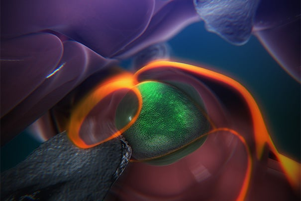 A still from an animation that shows the steps of how blood stem cells take root in the body of a zebrafish to generate blood.