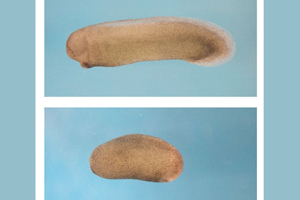 In the top image the frog embryo is developing normally. In the bottom image the frog embryo is lacking a head and brain as a result of the suppression of the Notum protein.