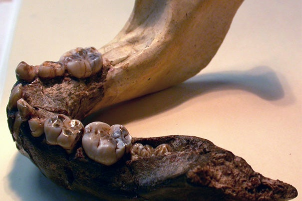 A new study shows that the teeth of early hominins grew unlike those of either modern humans or apes, suggesting that neither can serve as a useful proxy for estimating the age or developmental progression of juvenile fossils.