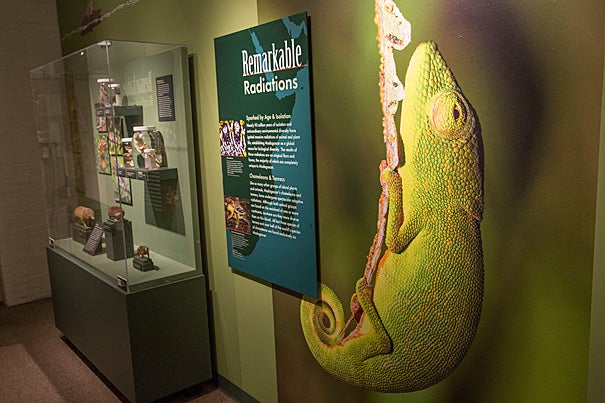 """Efforts by Harvard faculty to understand island evolution form the centerpiece of a new exhibition at the Harvard Museum of Natural History. """"Islands: Evolving in Isolation"""" includes specimens from the collections of the Museum of Comparative Zoology, explanatory displays, video of Harvard scientists discussing their work, and living things — lizards, hissing cockroaches, and carnivorous pitcher plants."""