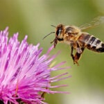 In a new study, Harvard researchers looked at pollen and honey samples collected from the same set of hives across Massachusetts. Findings show they contain at least one pesticide implicated in Colony Collapse Disorder.
