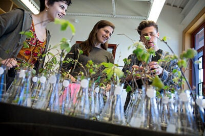 """Will spring just keep getting three weeks earlier every three decades? Or will there be a point where we will really have messed up the biology of these systems and the plants won't be able to track with climate change because there's this photo-period limit?"" asked Elizabeth Wolkovich (center), an assistant professor of organismic and evolutionary biology. Working with Wolkovich were research technicians Jehane Samaha (left) and Tim Savas."