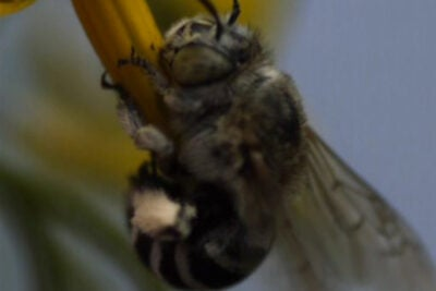 "The question Callin Switzer and colleagues first set out to answer was whether Australian bees behaved similarly to bumblebees when pollinating flowers. ""When farmers bring in bees to pollinate their crops it's most often honeybees, but certain plants — including tomatoes — can't be pollinated by honeybees because of the way the plants release pollen."""
