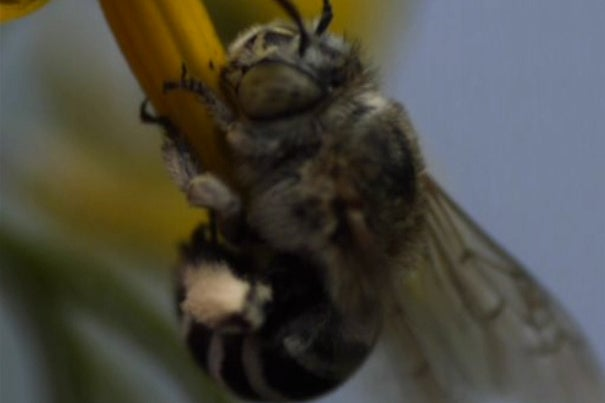"""The question Callin Switzer and colleagues first set out to answer was whether Australian bees behaved similarly to bumblebees when pollinating flowers. """"When farmers bring in bees to pollinate their crops it's most often honeybees, but certain plants — including tomatoes — can't be pollinated by honeybees because of the way the plants release pollen."""""""