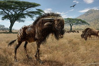 "A remarkable example of convergent evolution, the wildebeest-related Rusingoryx shares a unique cranial shape with the ""duck-billed"" hadrosaur, despite evolving 100 million years after dinosaurs roamed the earth."