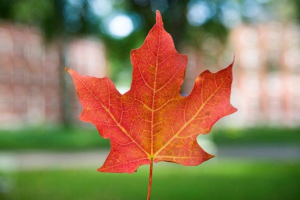 An autumn leaf in Harvard Yard. Stephanie Mitchell/Harvard Staff