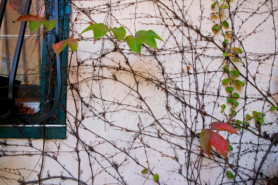 Autumn colors crawl alongside a Massachusetts Avenue building. Rose Lincoln/Harvard Staff Photographer