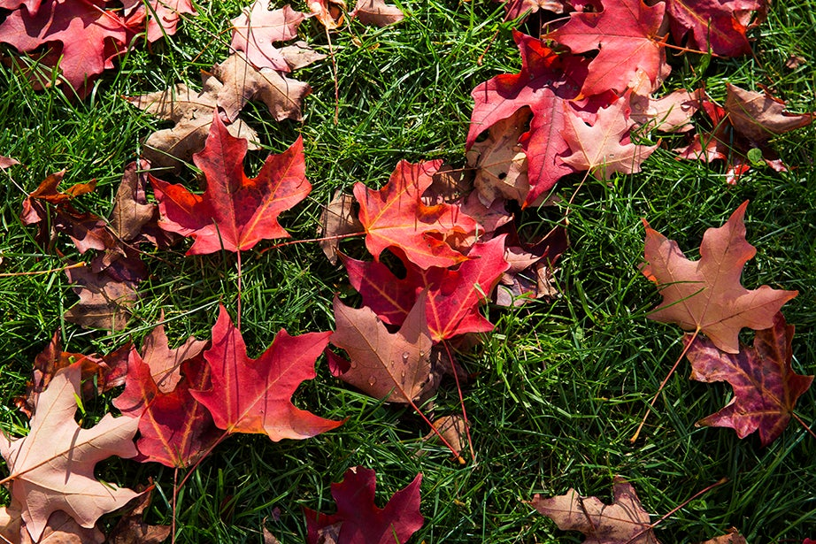 Fallen red maple leaves scattered on the grass by Memorial Church in Harvard Yard. Jon Chase/Harvard Staff Photographer