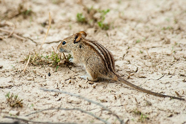 The African striped mouse (pictured) and the eastern chipmunk each have distinctive stripes down their backs that Harvard scientists believe are a byproduct of the cranio-facial gene Alx3 that both species evolved independent of one another.