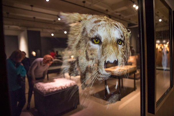 "A fading image of a tiger is part of the Harvard Museum of Natural History's exhibit on extinction, ""Next of Kin: Seeing Extinction through the Artist's Lens."" Kris Snibbe/Harvard Staff Photographer"