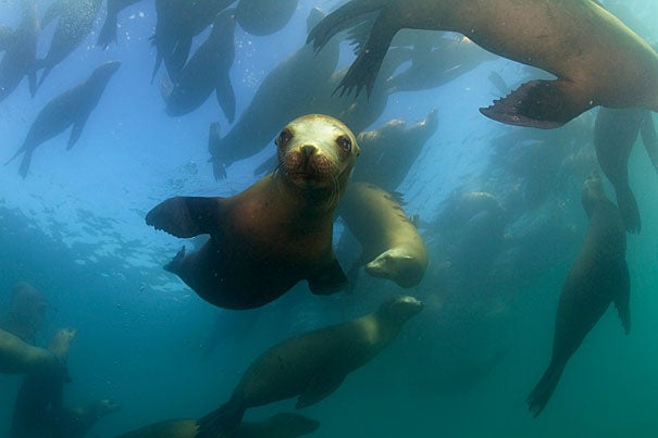 A group of charismatic, sleek and agile California Sea Lions. Photos by Keith Ellenbogen