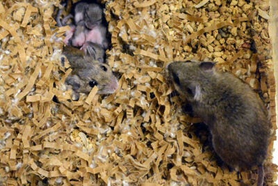 "A study led by Harvard Professor Hopi Hoekstra has uncovered links between the activity of specific genes and parenting behaviors across species, such as close cousins deer mice (pictured) and oldfield mice. ""[T]here's no measurable effect based on who raises [offspring],"" Hoekstra said. ""It's all about who they are genetically."""
