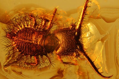 A project to digitize Harvard's fossil insect collection produced a surprising twist: The discovery of hundreds of Eocene insects frozen in amber on a pre-WWII loan from Germany.