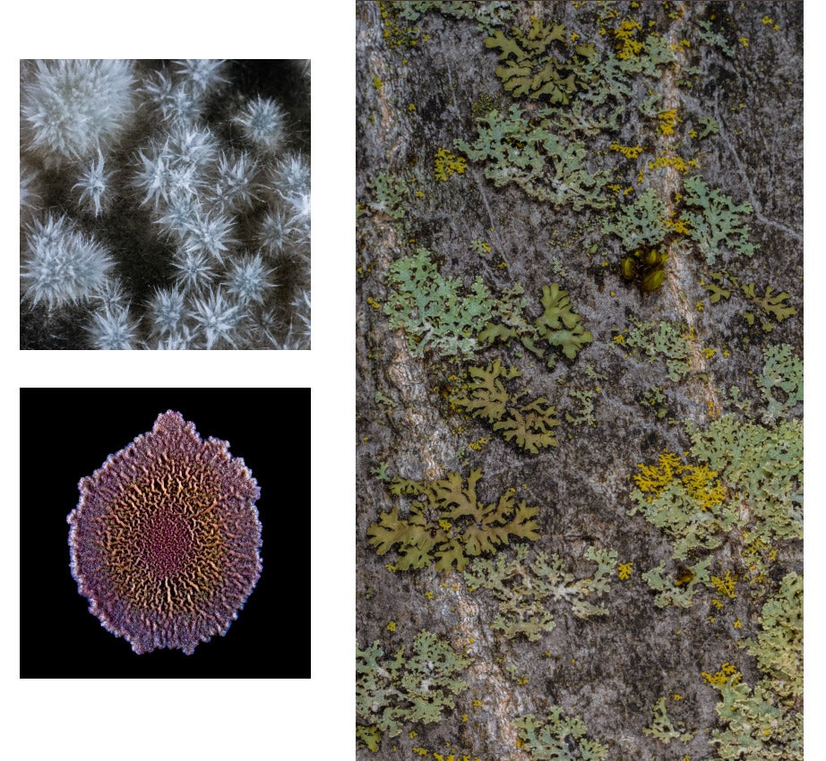 Aspergillus oryzae, koji, growing on rice kernels (clockwise from top left); lichen growing on tree bark in the Arnold Arboretum; and a stained Bacillus subtilis colony biofilm grown in the laboratory. Photos by Scott Chimileski