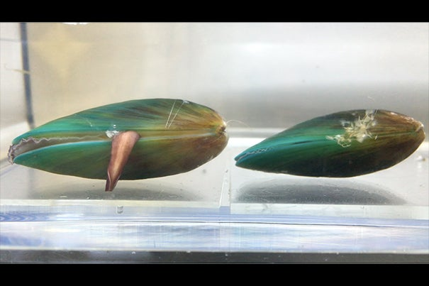 An Asian green mussel's foot probes the surface, evaluating whether it can attach byssal threads. The Wyss' SLIPS technology disrupts this process, confusing its senses and forcing it to move on.