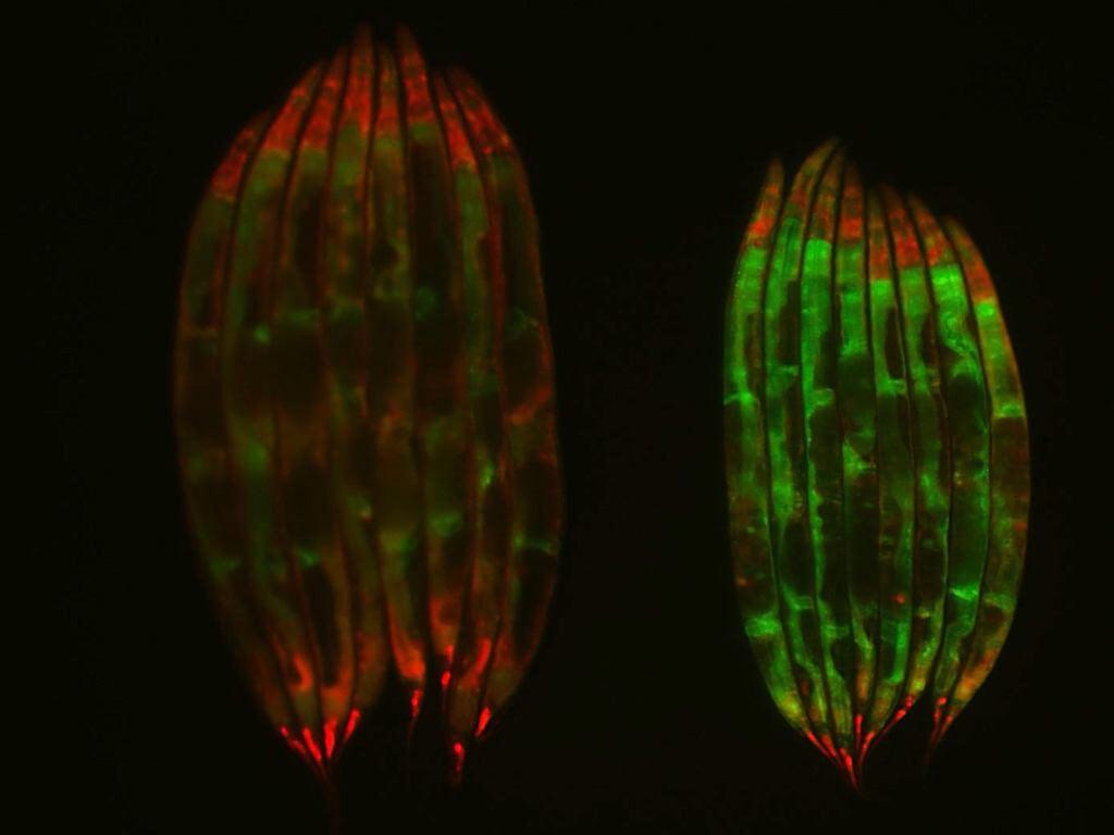 C. elegans worms.