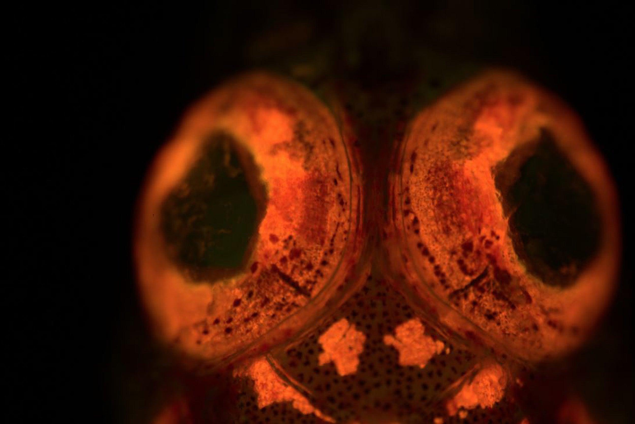 Closeup of a triplefin blenny.