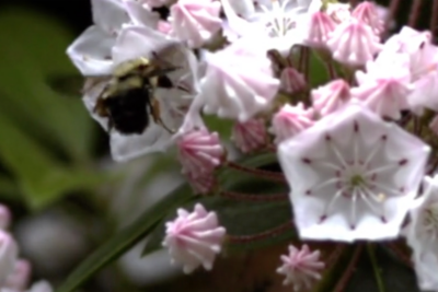 Researchers have found that the mountain laurels' catapults launch pollen toward the center of the flower, leading to a hypothesis that they might be triggered only by larger insects, like bumblebees, which are likely to land there and carry pollen from one flower to another.