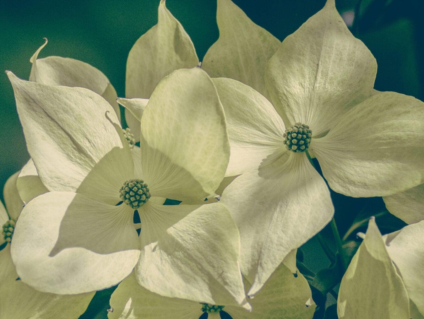 Kousa flower close-up.