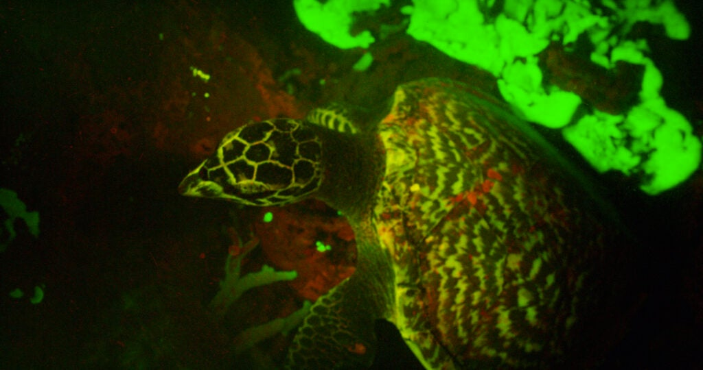 Bioflourescent turtle.