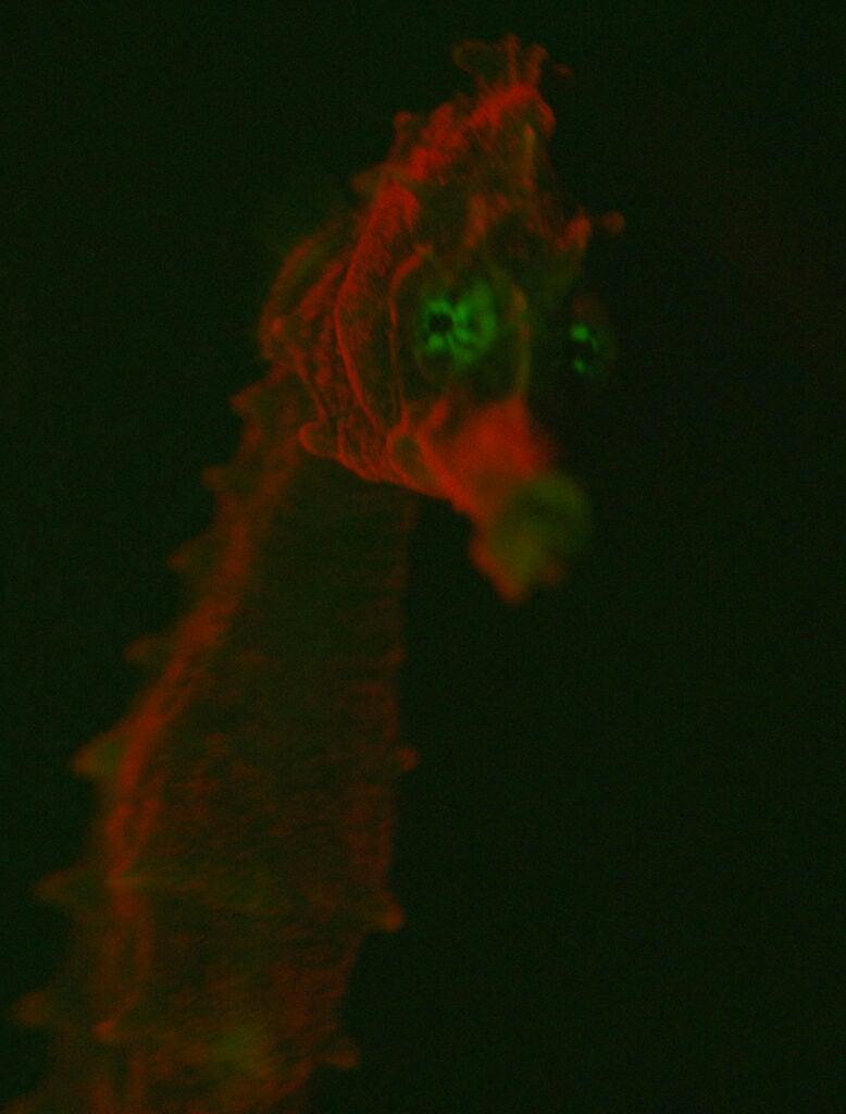Bioflourescent seahorse.