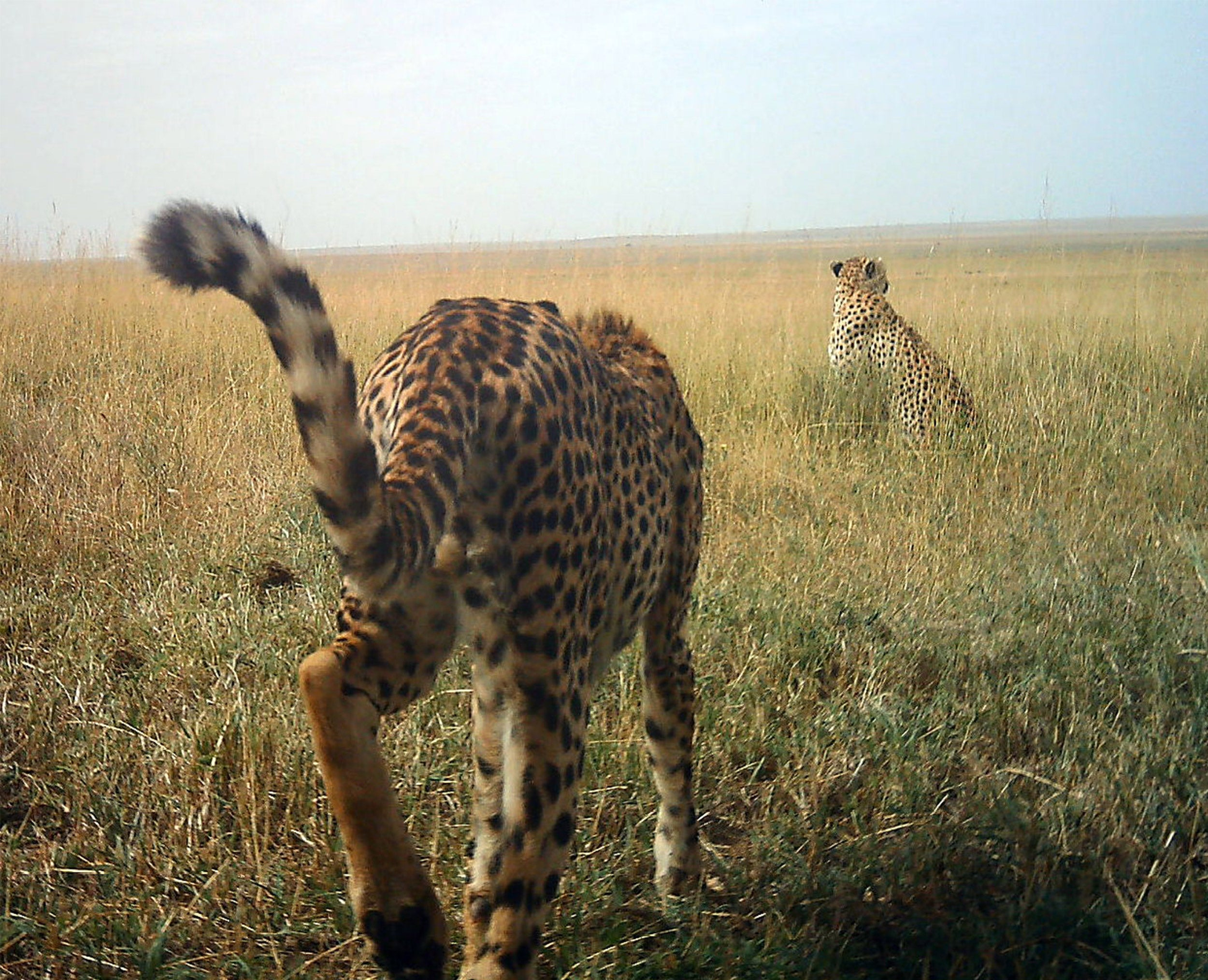 Two cheetahs in the wild.