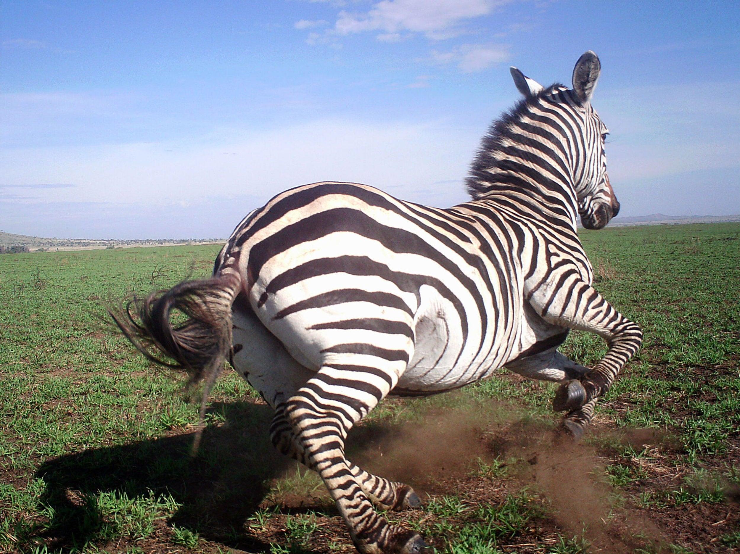 Zebra moving in the wild.
