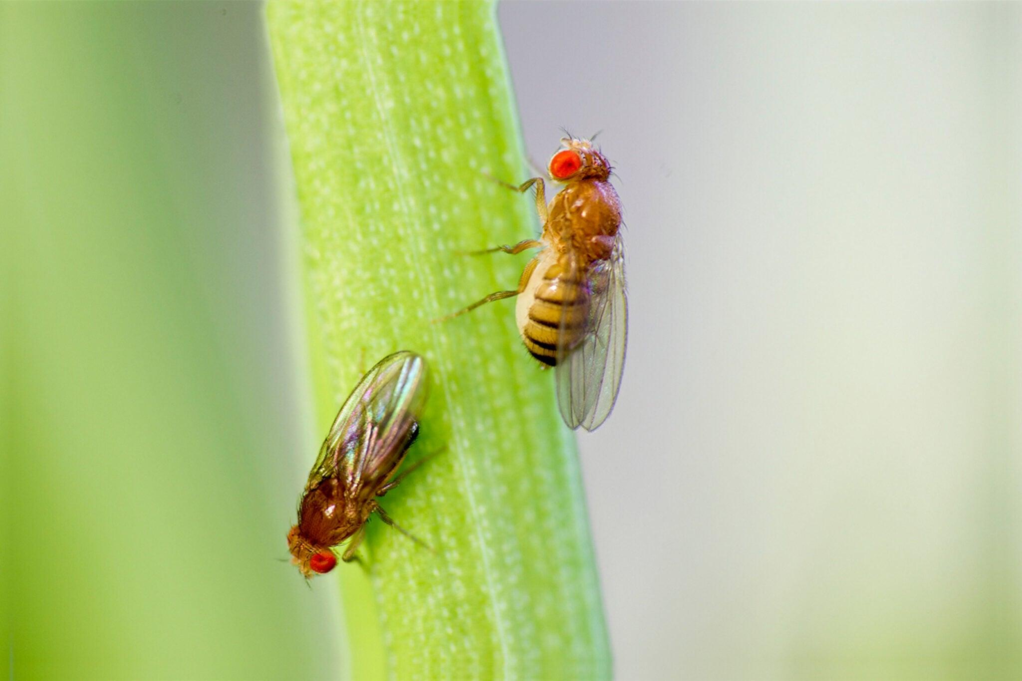 Fruit flies have mind