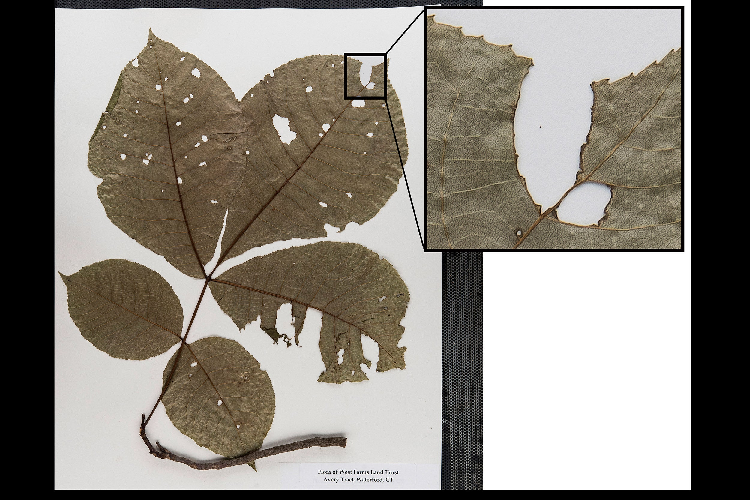 Herbarium specimen with insect damage.