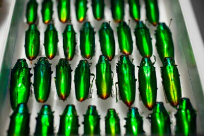 Family Buprestidae, Species Chrysochroa fulminans beetles