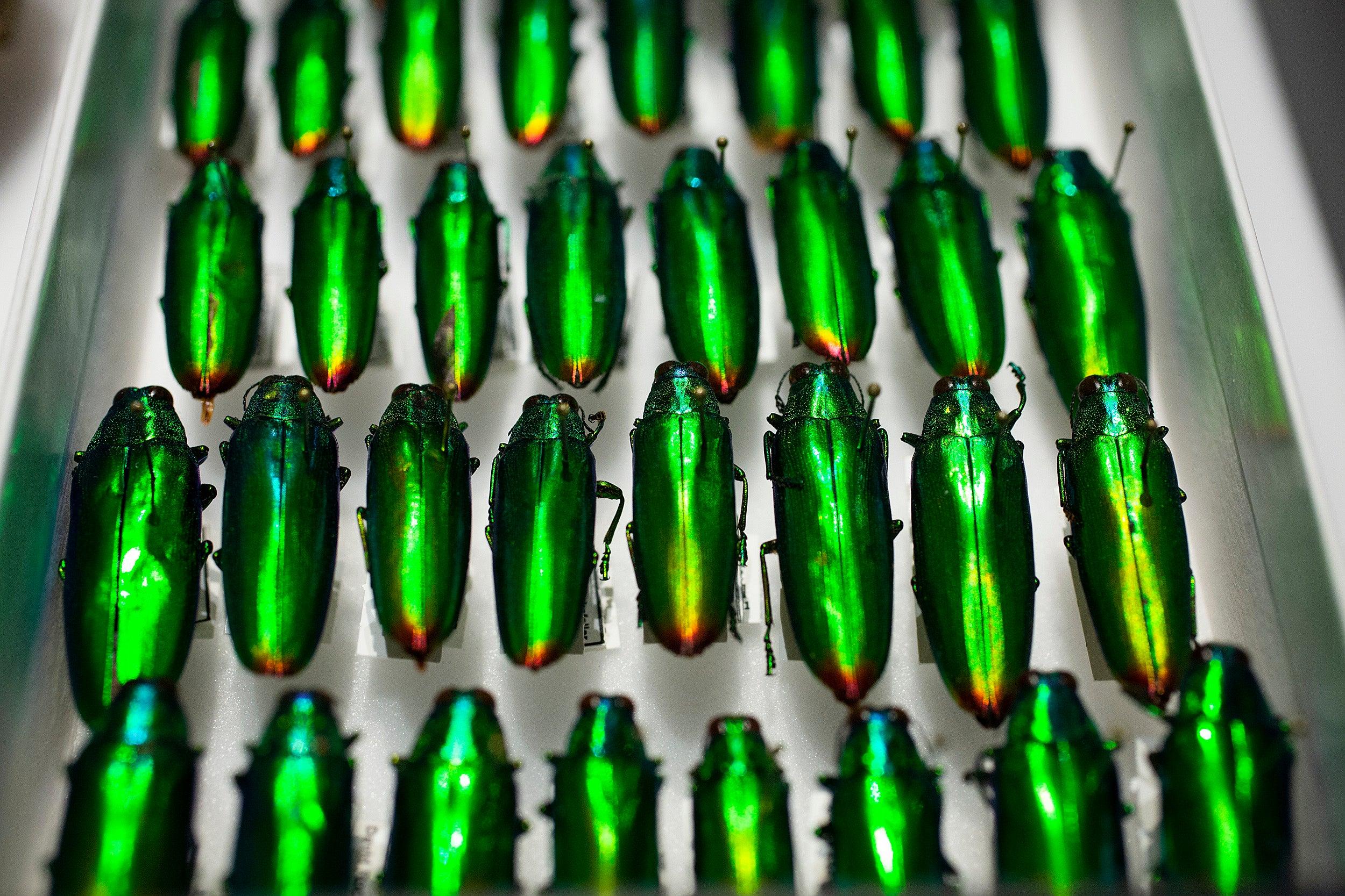 Family Buprestidae, Species Chrysochroa fulminans beetles