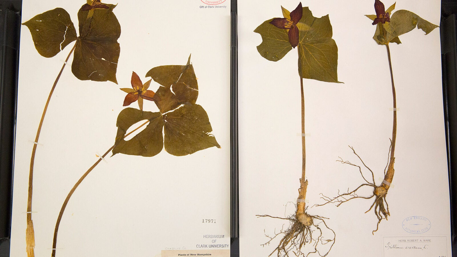 Trillium specimens of Henry David Thoreau, from New Hampshire.