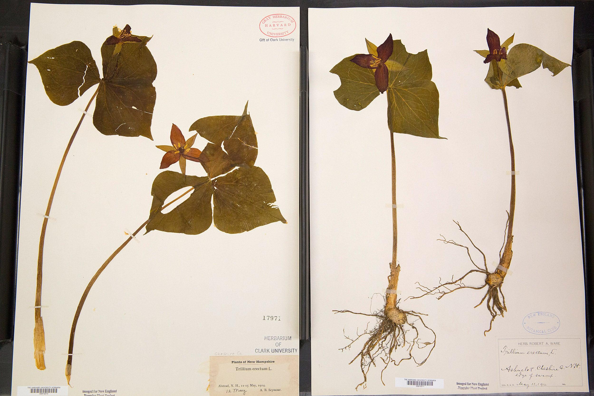 Trillium specimens of Henry David Thoreau, from New Hampshire.