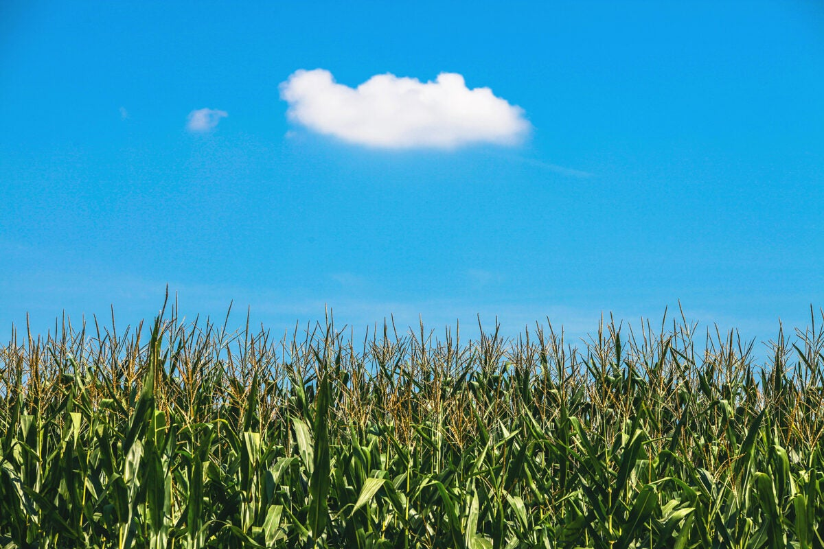 Cornfield and cloud