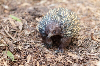 Echidna on the prowl.